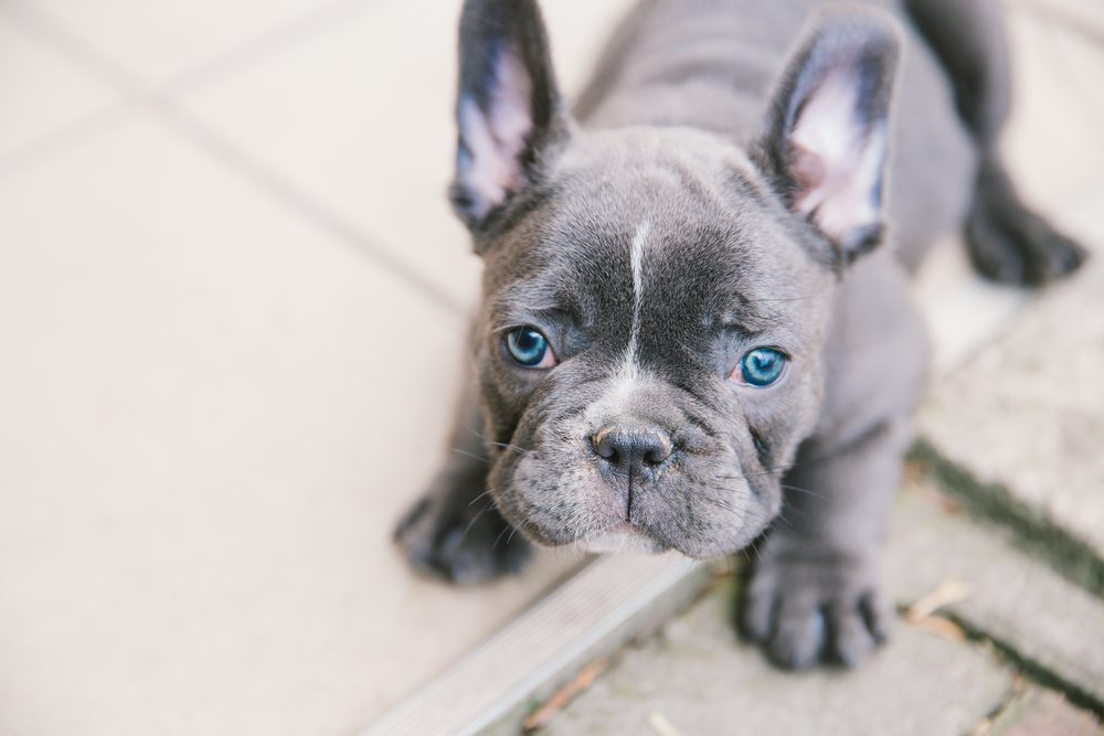Adopting French Bulldogs