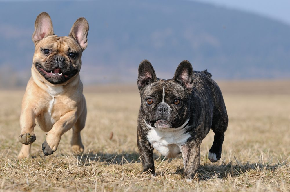 Best French Bulldog Breeder