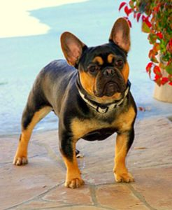 Black and tan french bulldog