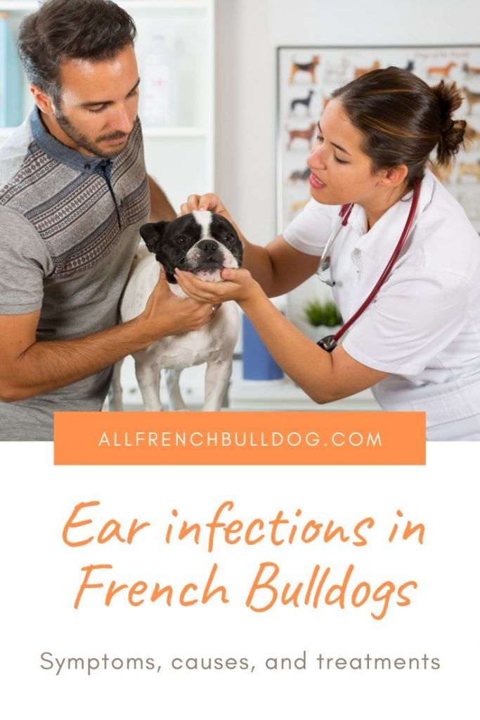 Ear infections in French Bulldogs