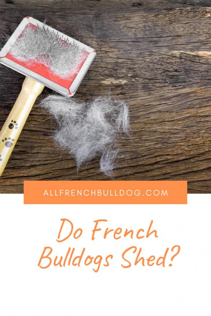 Do French Bulldogs Shed?