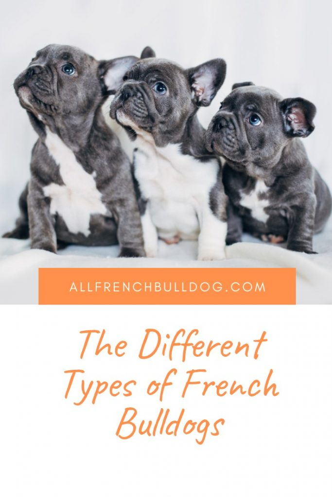 The Different Types of French Bulldogs