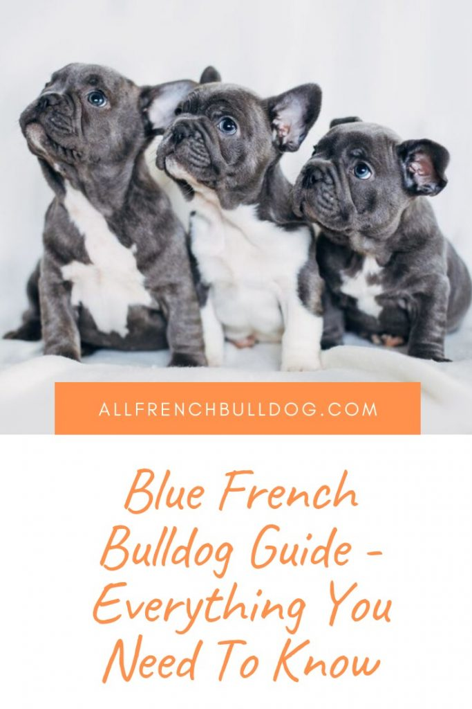 Blue French Bulldog Guide