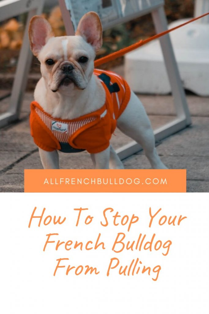 How to stop your french bulldog pulling