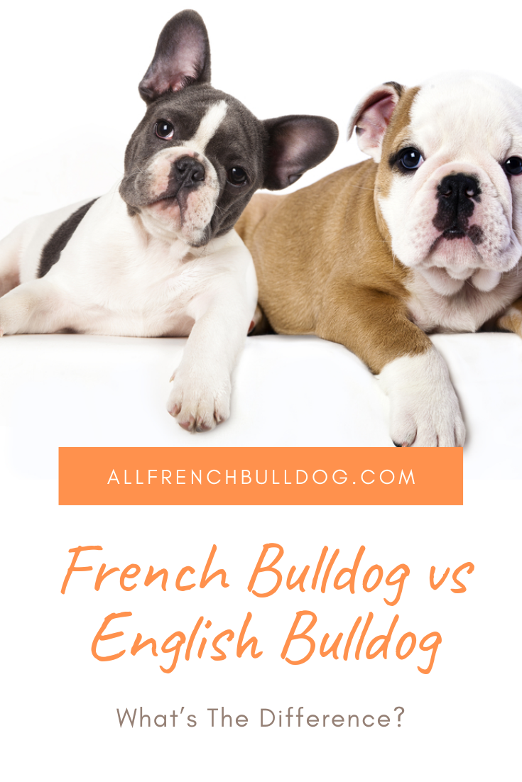 French Bulldog vs English Bulldog What's The Difference