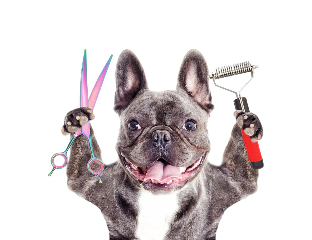 blue French bulldog grooming
