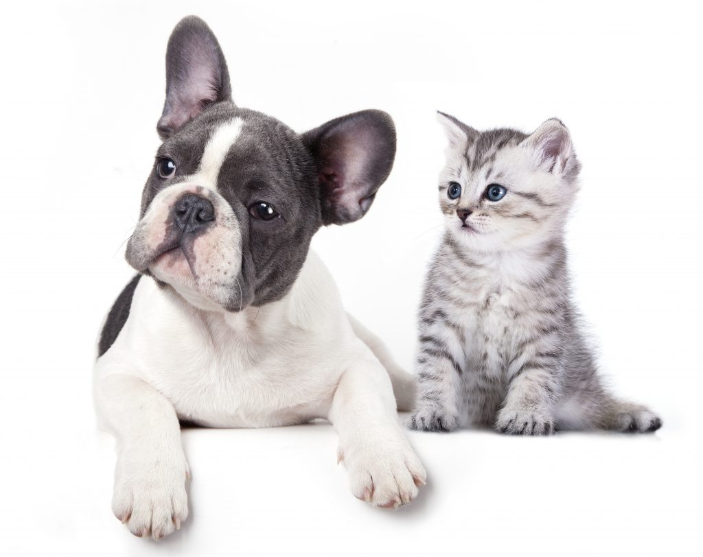 french bulldog with cat