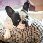Best Dog Bed for French Bulldog