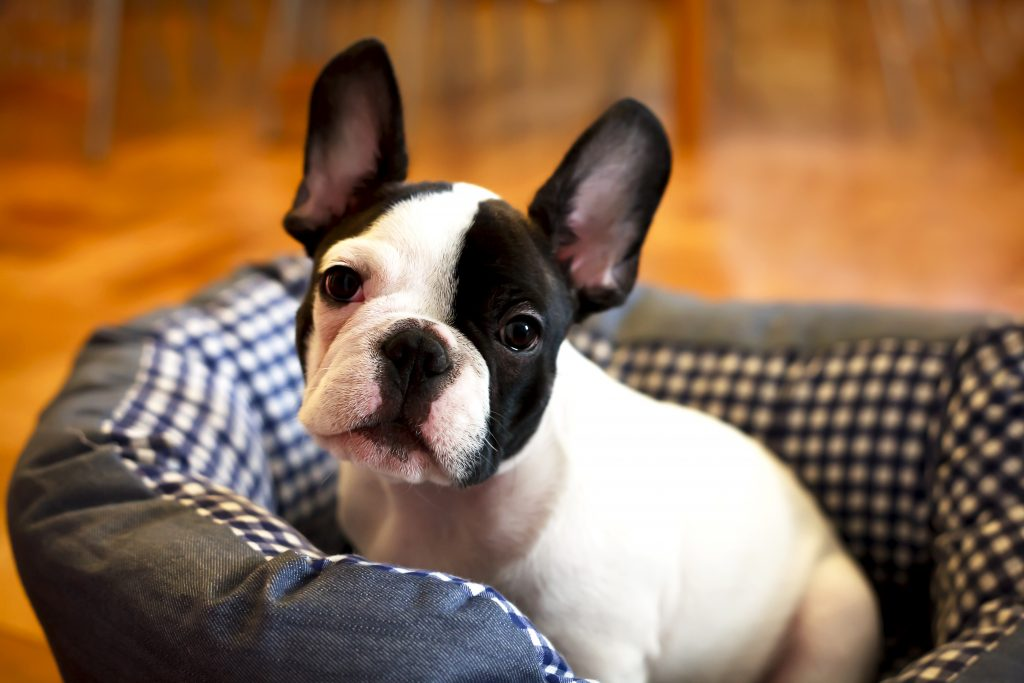 Best Dog Bed for French Bulldog 1